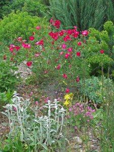 Early Shitty Bank: Rosa sanguinea, Phlomis purpurea (pink), Stachys byzantina,  yellow Asphodeline lutea, Euphorbia characias wulfenii