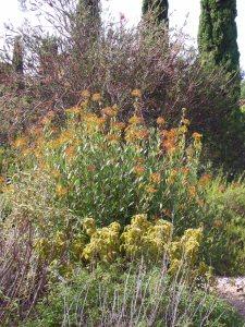 Bupleurum fruticosum still blooming.