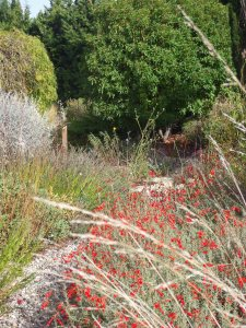 Anther view of Zauschneria californica
