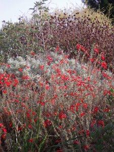 Fiery red Zauschneria californica in October