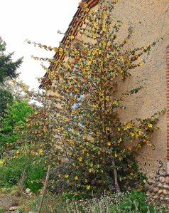 Fremontodendron californicum web