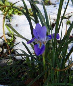 Iris unguicularis Tostat Feb 15