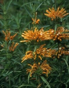 Leonitis leonurus, photo credit: Plant Delights Nursery