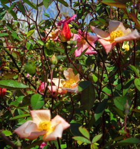Rosa chinensis 'Mutabilis' changes from deep pink to peach to yellow as the flowers age..