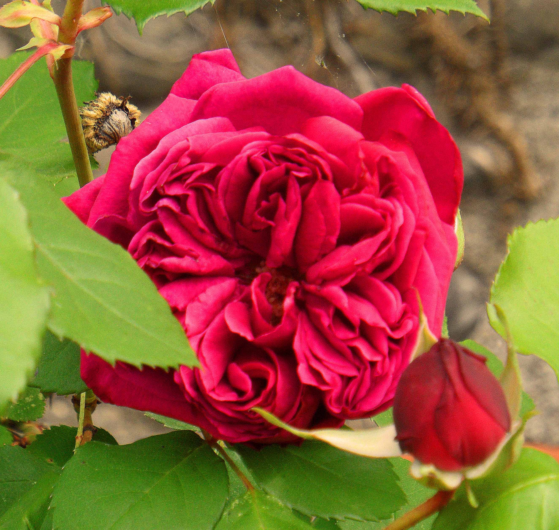 rosa reine marguerite d italie jardinecofriendly. Black Bedroom Furniture Sets. Home Design Ideas