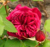 Rosa 'Reine Marguerite d'Italie', Tostat, May 2014