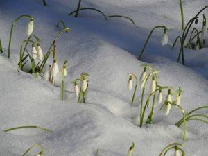 Snowdrops Adour Feb 15