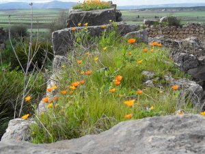Wild tagetes colonising the stony pockets of ruined walls