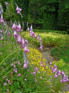 Some of the National Collection of Anthemis seen through Dierama...
