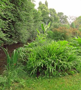 The bank in 2012 with the baby banana, Musa bajoo, a good stand of unknown crocosmia (still there) and some bronze fennel, Foeniculum vulgare 'Purpureum' also still there. The muddy ruisseau rushes by, must be Spring.