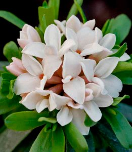 Daphne x transatlantica 'Eternal Fragrance' photo credit: www.crocus.co.uk