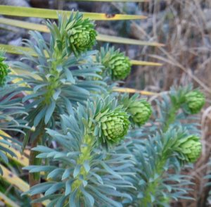 Euphorbia characias subsp.wulfenii flowers emerging, March 2015.  I am saying, 'Love the way you look as if you are praying...'