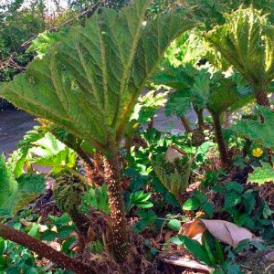 Andy's pride and joy, Gunnera manicata, just popping up, already a metre plus..