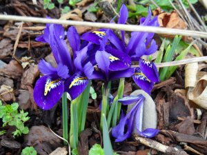 Iris reticulata, Feb 2015.  I am saying, 'Doing beautifully, not to self, put some more in there in the Autumn'