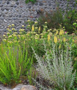 Yellow Kniphofia, Gaura lindheimeri, Perovskia atriplicifolia 'Little Spire' and the creamy spires of Phlomis russeliana, June 2012