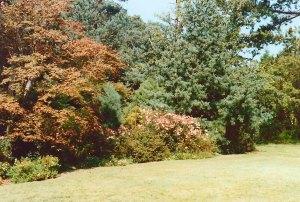 Rosa chinensis 'Mutabilis' fronting a woodland planting (centre) Le Bois es Moutiers 1990