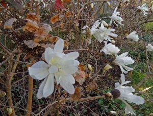Magnolia stellata Mar 15