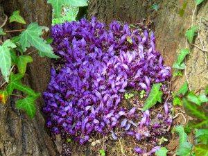 Lathraea clandestina (Purple tooth wort) Mar 15