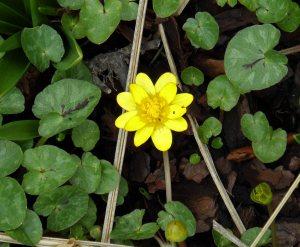 Ranunculus ficaria Feb 2015