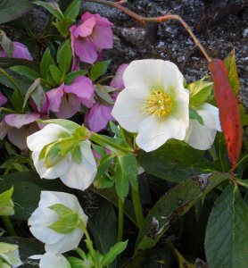 Unknown single Helleborus orientalis, white and pink March 2015. I am saying, ' Stay apart...no messing'