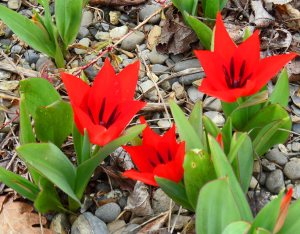 Tulipa linifolia Mar 15
