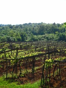 Vineyards: Slovenia May 2014