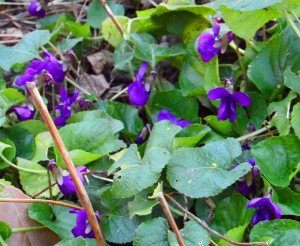 Wild violets, Viola papilonacea, growing in the paths, March 2015. I am saying, 'You look lovely, but this is FAR enough. I will take you out..'. Apologies to Liam Neeson.