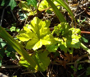Acanthus mollis 'Hollard's Gold' April 15
