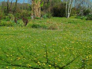 Dandelion spread...April 15