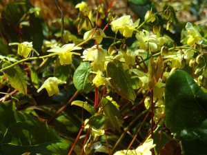 Epimedium x versicolor 'Sulphureum' April 15