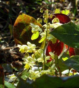 The flowers on Epimedium x versicolor 'Sulphureum' grow on delicate sprays Apr 15