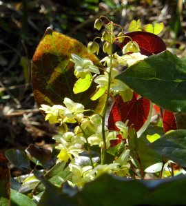 The flowers on Epimedium x versicolor 'Sulphureum' grow on delicate sprays Apr 15