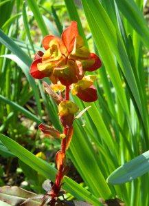 New shoot of Euphorbia amygdaloides 'Purpurea' April 15