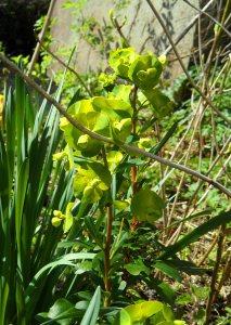 Euphorbia amygloides Purpurea 2 Apr 15