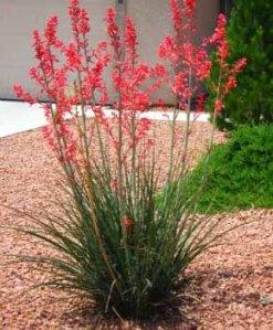 Hesperaloe flowering.. Photo credit: botanical-journeys-plant-guides.com