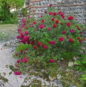 Rosa Reine Marguerite d'Italie July 2014