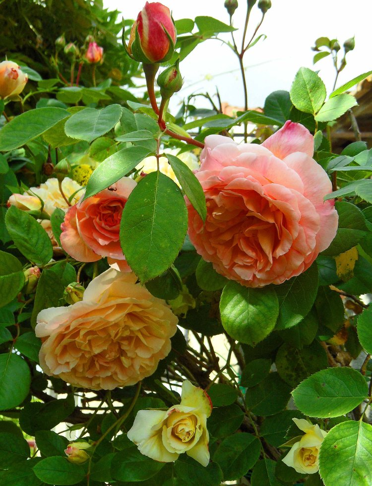 Unknown old rose May 2014