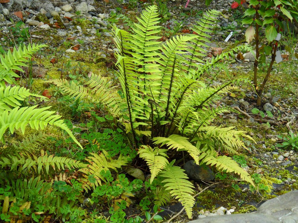 Dryopteris atrata, Tostat, May 2015