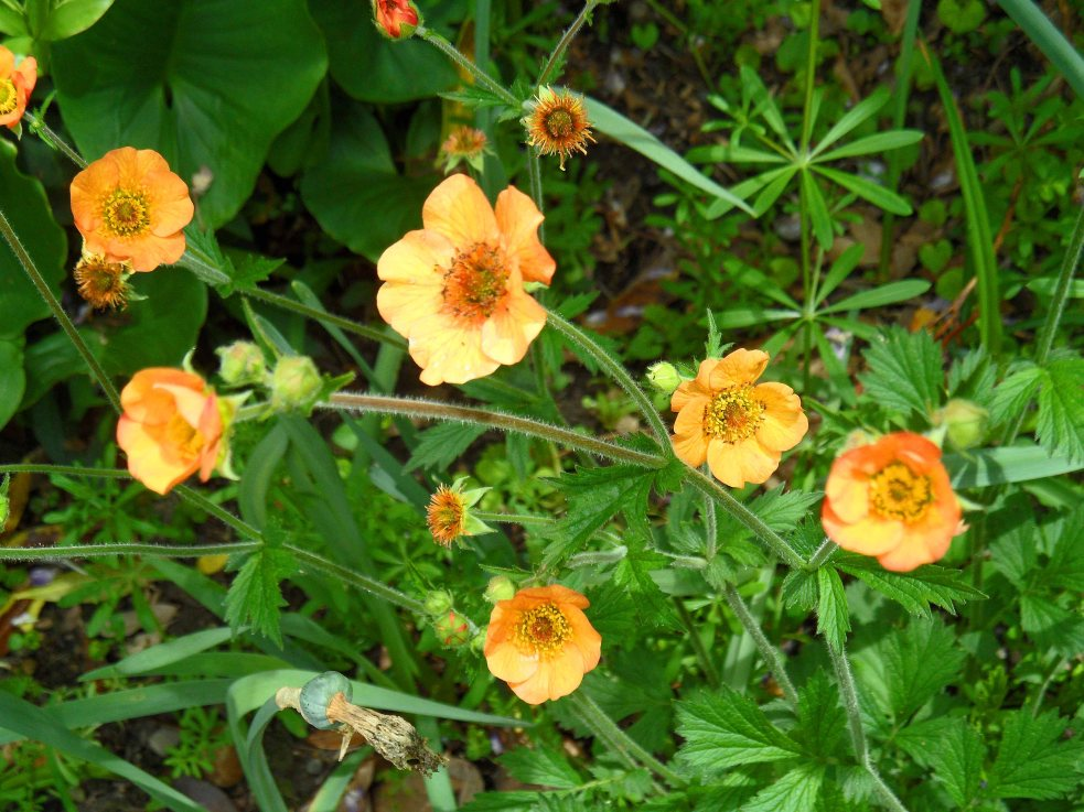 Geum 'Totally Tangerine', Tostat, May 2015