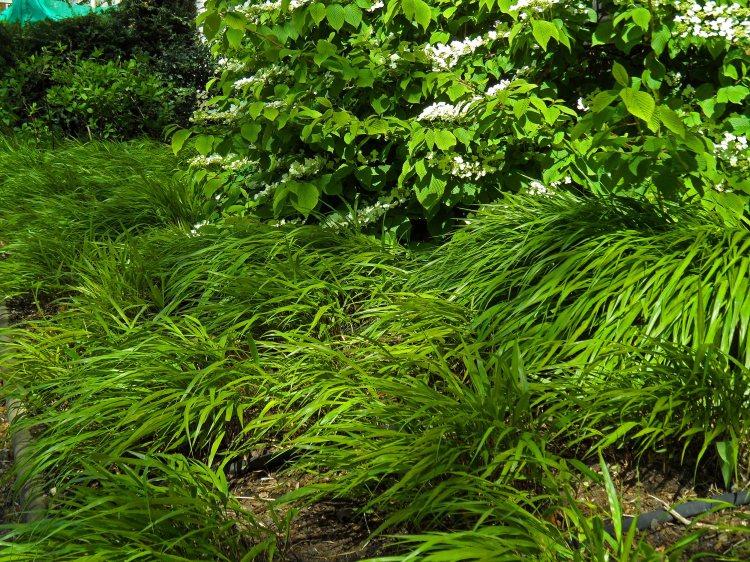 Hakonechloa macra underplanting Viburnum plicatum. Elegant. Inner Temple, April 2015