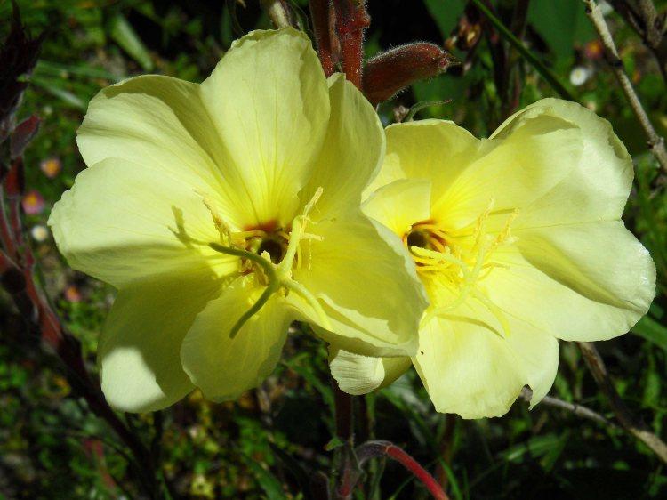Oenethora 'Lemon Sunset', Tostat, May 2015