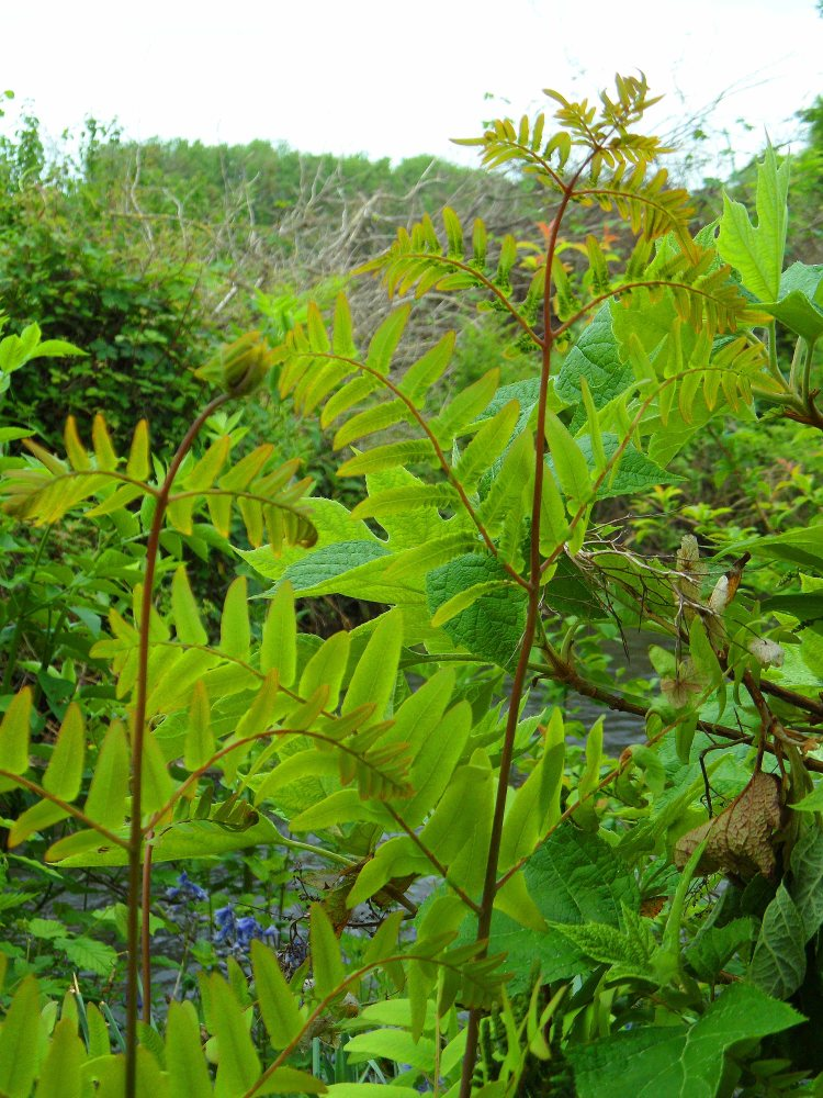 Osmunda regalis, Tostat, May 2015