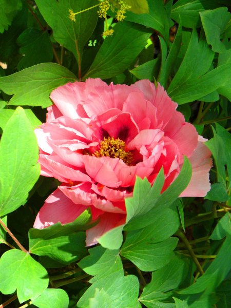 The light somehow saved it from being salmon pink. Unknown paeony, Inner Temple, April 2015