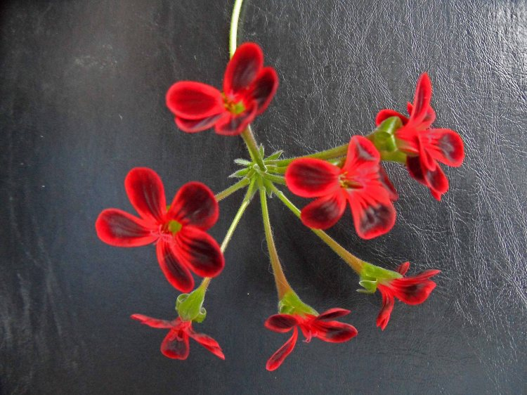 Pelargonium 'Ardens' Tostat May 2015