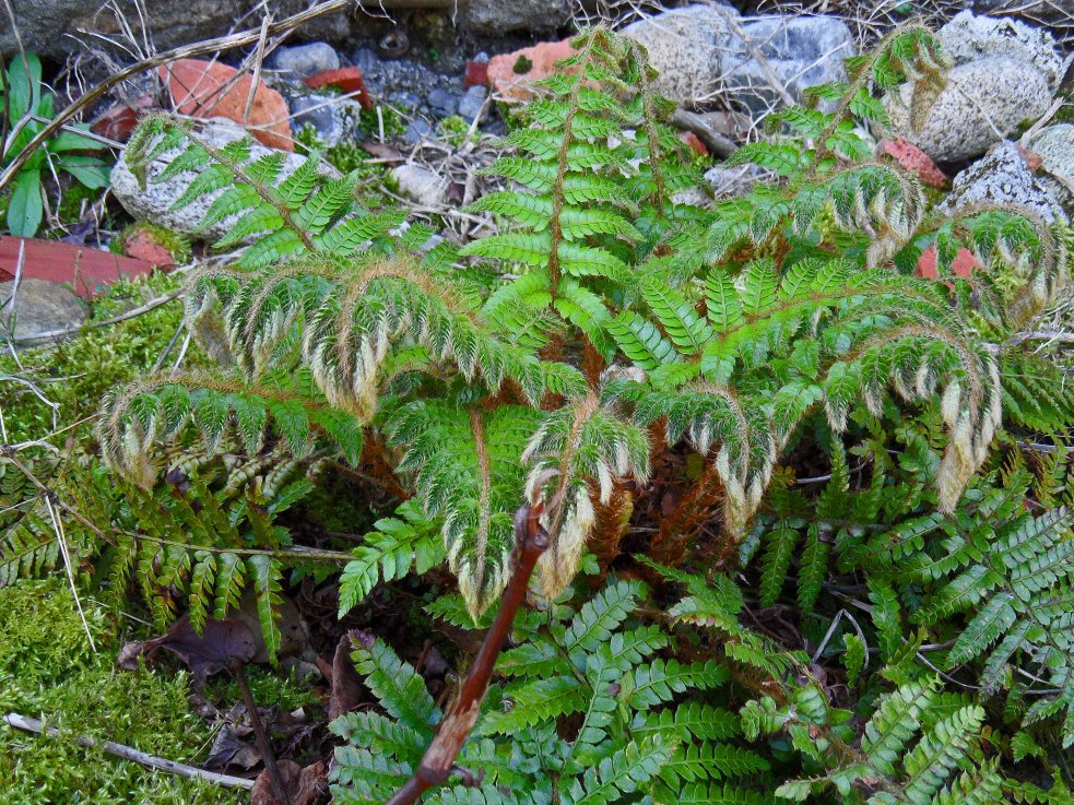 Polystichum polyblepharum, Tostat, April 2015