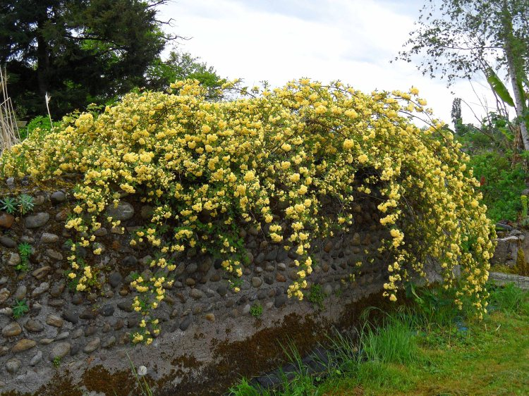 Rosa banksiae lutea, Tostat, May 2015