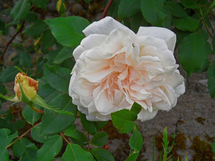 Rosa Madame Alfred Carriere, Tostat, May 2015