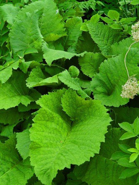 Telekia speciosa leaves, Tostat, May 2015