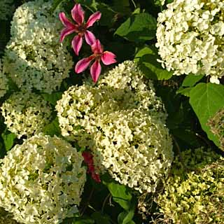 Hydrangea arborescens 'Annabelle' and Clematis texensis 'Princess Diana', Tostat, June 2015