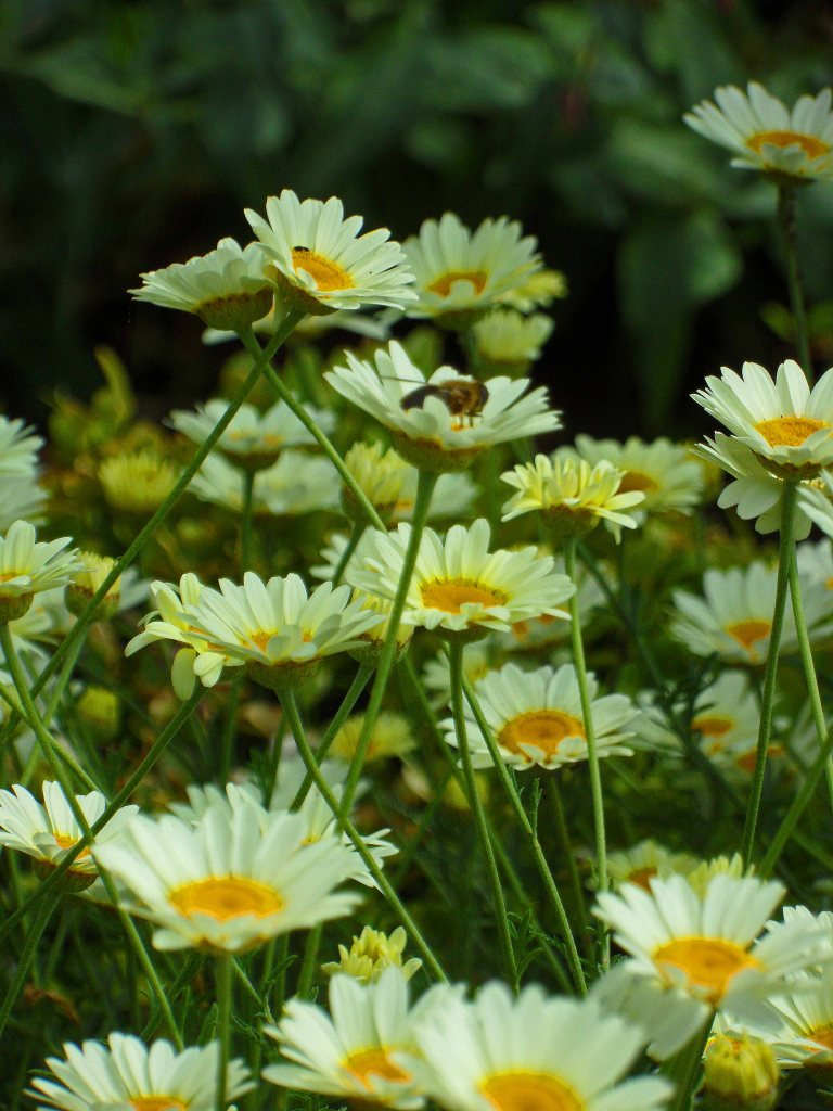 Anthemis tinctoria 'Sauce Hollandaise', Tostat, June 2015